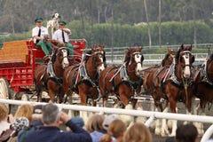 Die weltberühmten Pferde Budweiser-Clydesdale Stockfotos
