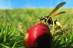 Die Wespe auf der Blume Stockfoto