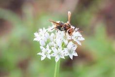 Die Wespe der weißen Blume Lizenzfreie Stockfotos