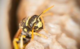 Die Wespe schützt Bienenwaben (Makro) Stockfotografie