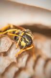 Die Wespe schützt Bienenwaben (Makro) Stockbild