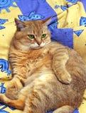 Die wichtige Katze Stockbild