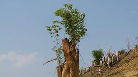 Die Wiederbelebung eines abgeschnittenen Baums stock footage