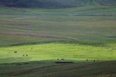 Die Wiese mit Kühen Lizenzfreie Stockfotos