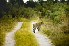 Die wild lebenden Tiere der Moremi-Spiel-Reserve stockfoto