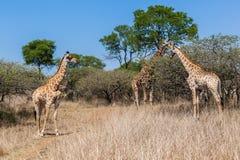 Die wild lebenden Tiere des Giraffen-Familien-Kalbs stockfotos