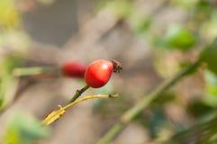 Die wilde Beere stieg auf einen Busch Stockfotografie