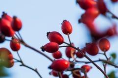 Die wilde Beere stieg auf einen Busch Lizenzfreie Stockbilder