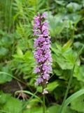 Die wilde Gebirgsorchidee, früh-purpurrote Orchidee 2 Lizenzfreie Stockbilder