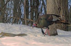 Die wilde Türkei lizenzfreie stockfotografie