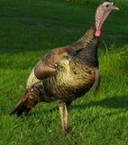 Die wilde Türkei 2 Stockfotos