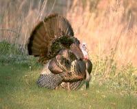 Die wilde Türkei 4 Lizenzfreie Stockbilder