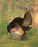 Die wilde Türkei 6 Stockbild