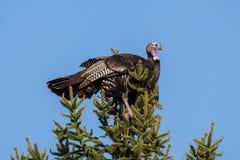Die wilde Türkei Lizenzfreies Stockbild