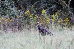 Die wilde Türkei, die in hohes Gras geht lizenzfreie stockbilder