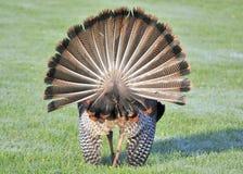 Die wilde Türkei (Meleagris gallopavo) Lizenzfreie Stockbilder