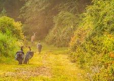 Die wilde Türkei (Meleagris gallopavo) Stockfotos