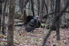 Die wilde Türkei mit den Federn heraus aufgelockert in der vollen Anzeige stockfotografie
