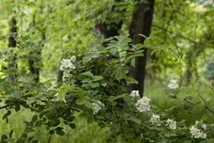 Die wilden Brombeeren, die im extrem grünen tiefen Wald im Frühsommer blühen - verwischen Sie Hintergrund lizenzfreies stockbild