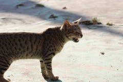 Die Wildkatze mit wilder Bewegung im Rahmen stockbilder