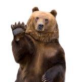 Die Willkommen des braunen Bären (Ursus arctos). lizenzfreies stockbild