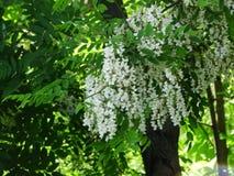 Die wohlriechenden Blumen der Akazie Stockfotografie