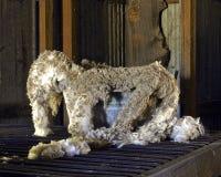 Die Wolle, die wartet, um zu sein, wird für die Verarbeitung klassifiziert lizenzfreie stockfotos