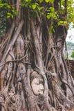die Wurzel Buddha Stockbilder