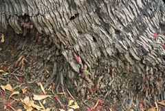 Die Wurzel der Kokosnuss wird mit kleinen Blättern umfasst Stockfoto