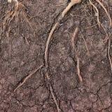 Die Wurzel des Baums im Boden lizenzfreie stockfotos