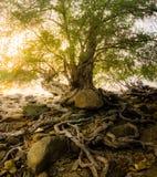 Die Wurzel des Baums im Strand- und Sonnenunterganghintergrund Stockfotografie