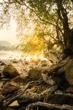 Die Wurzel des Baums im Strand- und Sonnenunterganghintergrund Stockfotos