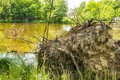 Die Wurzel eines Baums auf dem Ufer von einem Waldsee lizenzfreie stockfotos
