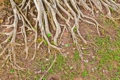 Die Wurzel eines großen Baums Lizenzfreie Stockfotos