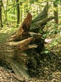 Die Wurzel eines großen gefallenen Baums stockbilder