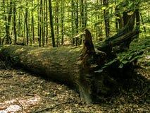 Die Wurzel eines großen gefallenen Baums stockbild