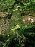 Die Wurzel eines großen gefallenen Baums lizenzfreies stockbild