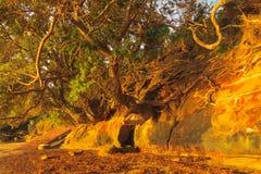 die Wurzeln der Bäume auf der Klippe Stockfoto