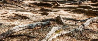 Die Wurzeln der Tannenbäume, die aus den Grund liegen Stockbild