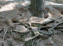 Die Wurzeln des Baums Stockfotografie