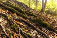 Die Wurzeln eines Baums bedeckt mit Moos Lizenzfreie Stockfotografie