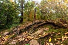 Die Wurzeln eines Baums, der mit Moos bedeckt wird und trocknen Blätter Lizenzfreies Stockfoto
