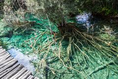 Die Wurzeln eines Baums in einem Türkissee im Wald Plitvice, Nationalpark, Kroatien stockbilder
