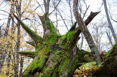 Die Wurzeln eines gefallenen Baums stockfoto