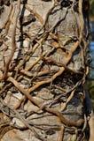 Die Wurzeln haben einen Griff auf dem Cycad stockfotografie