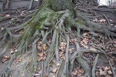 Die Wurzeln und grüne der Moosstamm stockfotografie