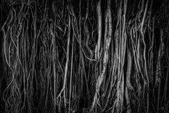 Die Wurzeln und die Stämme des Banyanbaumes werden dicht verpackt und schauen als die Oberfläche des Holzes durcheinandergeworf stockfotos