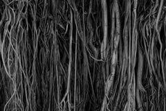 Die Wurzeln und die Stämme des Banyanbaumes werden dicht verpackt und schauen als die Oberfläche des Holzes durcheinandergeworf lizenzfreies stockfoto