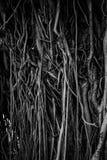 Die Wurzeln und die Stämme des Banyanbaumes werden dicht verpackt und schauen als die Oberfläche des Holzes durcheinandergeworf stockfoto