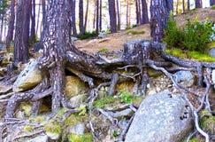 Die Wurzeln von Kiefern, verflochten mit großen Steinen auf dem Abhang lizenzfreies stockfoto